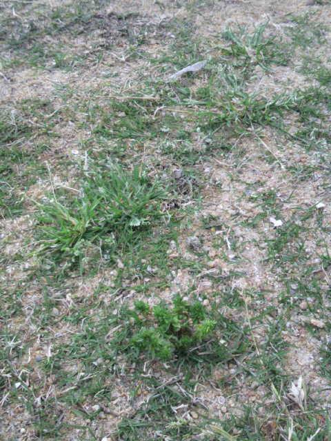 佐世保市営陸上競技場のピッチ状態(2011年4<br />  月30日16<br />  時現在)